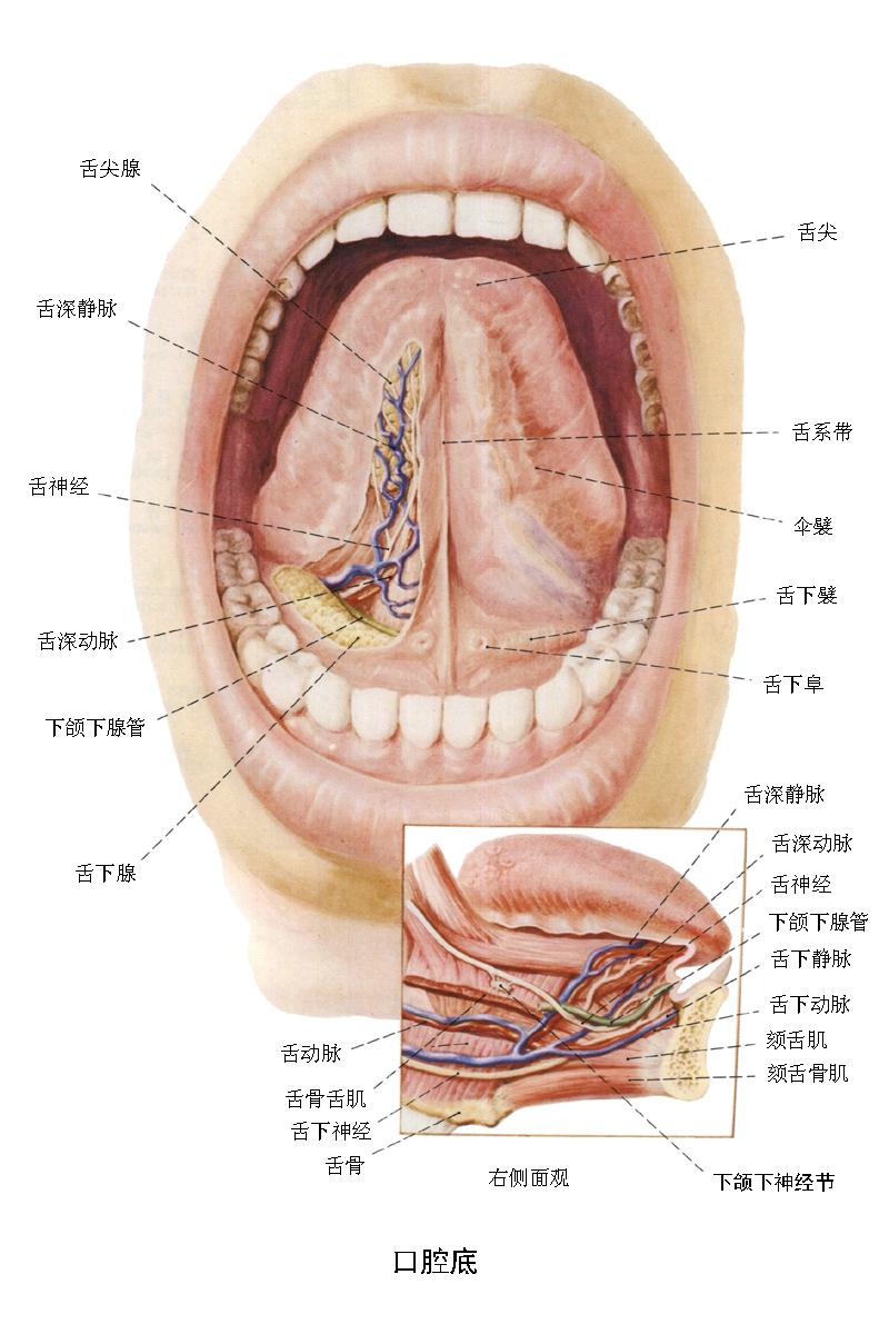舌头的结构图